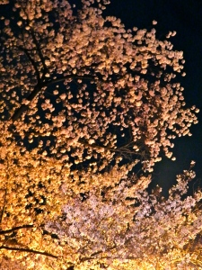 Sakura by the light of the festival lanterns. Beautiful!