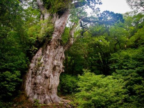 Jomon Sugi: perhaps the oldest tree in the world