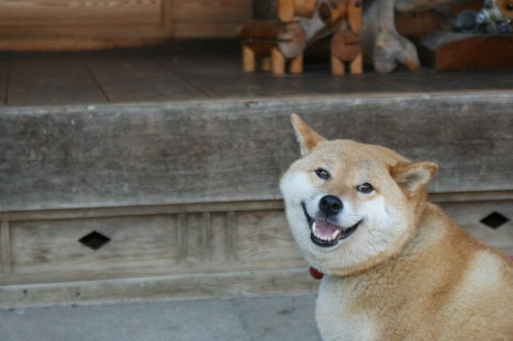The local (Shiba) dogs are friendly too