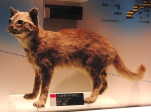 A taxidermied Iriomote wildcat