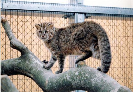 The Tsushima Leopard Cat