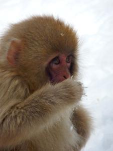 A baby Japanese macaque at Yudanaka's Jigokudani Monkey Park