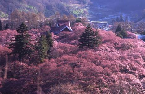 Takato Castle Ruins surrounded by cherry blossom (Photo: bigglobe.ne.jp)