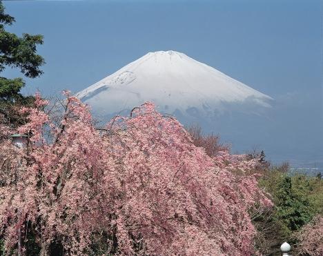 Mount Fuji framed by sakura