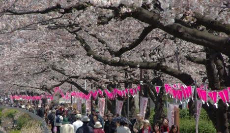 Crowds gather beneath the sakura trees in Tokyo