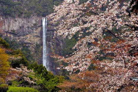 Nachi falls framed by sakura branches