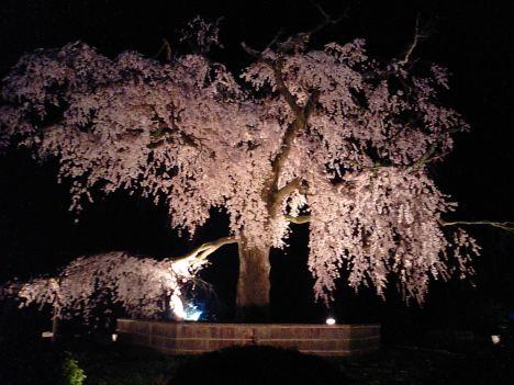 Illuminated sakura tree